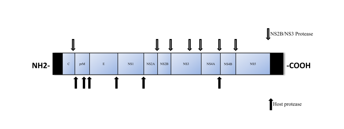 RNA genome of WNV and site sites cleaved by host proteases.