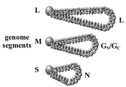 Schematic representation of the three genome segments.