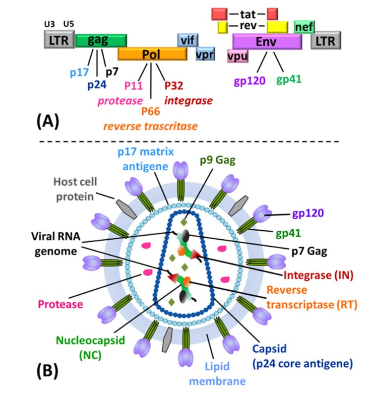 HIV genome (A), structure of a HIV virion particle (B)