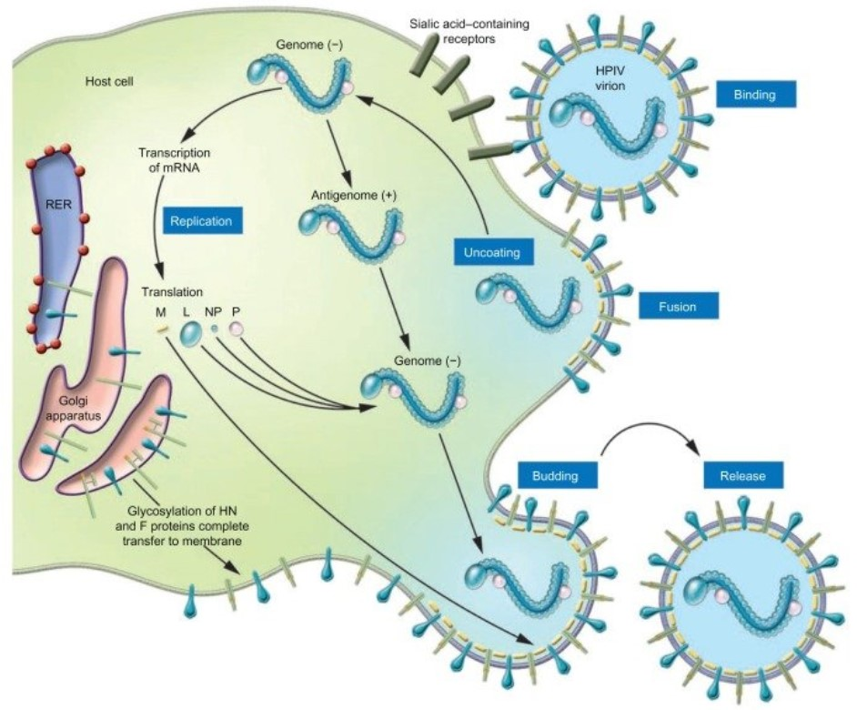 Schematic illustration of the parainfluenza life cycle.