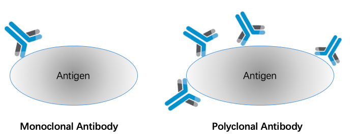 Polyclonal and monoclonal antibodies.