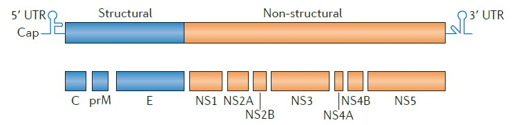 A schematic diagram of the WENV genome.